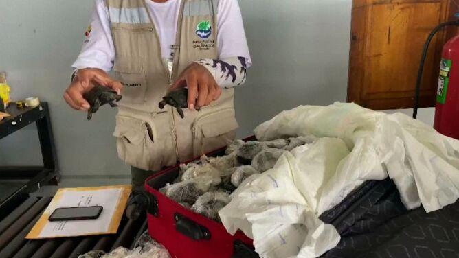 W walizce miały być pamiątki, było 185 żółwi zawiniętych w folię. Przemyt na Galapagos