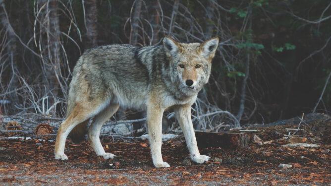Było ich sześć, może osiem. W Wigierskim Parku Narodowym pojawiły się kolejne wilki