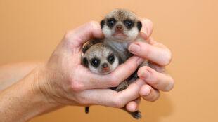 Dwa urocze maluchy przyszły na świat w ogrodzie zoologicznym w Sydney
