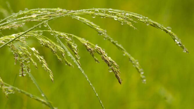 Deszcz trochę ulży alergikom na wschodzie
