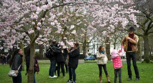 Kwitnienie wiśni w Europie i Korei Południowej