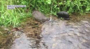 Dziobak australijski zagrożony wyginięciem